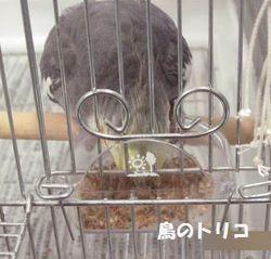 11 ポーちゃんのケージで残りご飯を食べるガオちゃん.JPG