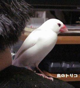 1 預かった文鳥写真.JPG