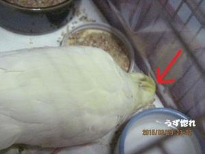 3 ケージの中で床に落ちているエサを食べるポポ.JPG
