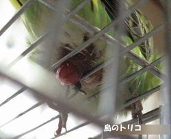 6 放鳥中力んで赤いものが出た写真.JPG
