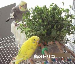 6 豆苗を食べている2羽写真.JPG