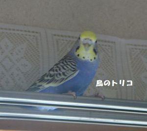 1  2006-08-21 家に来て3年後くらいの放鳥時.JPG