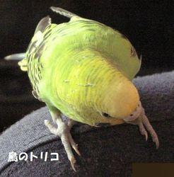12 2回目我が家で最後の放鳥中は潜る場所を探しています.JPG