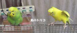 13 少しの放鳥 ワキワキポーちゃん.JPG