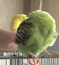 14 毛繕い中のドリちゃん.JPG