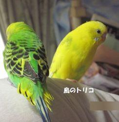 19 遊び場の2羽 ドリちゃん ガチャ玉シードを食べて少し元気.JPG
