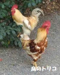 1 2019_08_13 神宮で自然放鳥されている神鶏写真.jpg