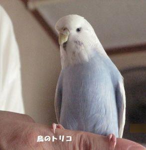 1 あおちゃん 放鳥写真.JPG