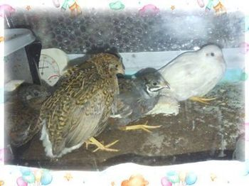 1−2 我が家に来た4羽の子達 雛加工写真 (1).jpg