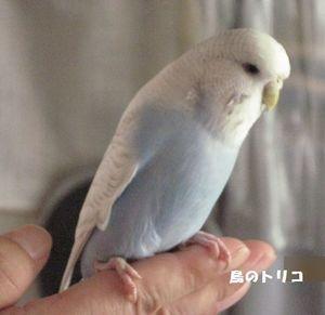 3 あおちゃん 放鳥写真.JPG