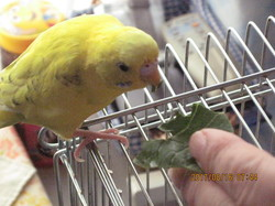 4 朝食前の小松菜を食べるポーちゃん.JPG
