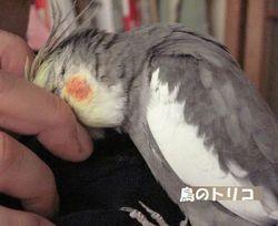 6 1羽放鳥で甘えっ子ガオちゃん.JPG