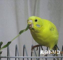 7 2回目の放鳥で豆苗を食べるポーちゃん.JPG