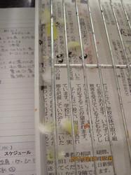 8 お昼放鳥時 ポーちゃんの抜けた羽毛チェック.JPG