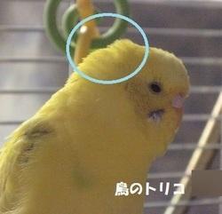 8 同 ポーちゃんの頭のツクツク羽毛.JPG