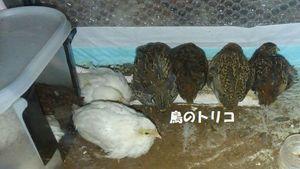 8 雛ちゃん達写真 3.jpg