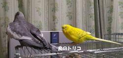 9 夕食後の放鳥.jpg
